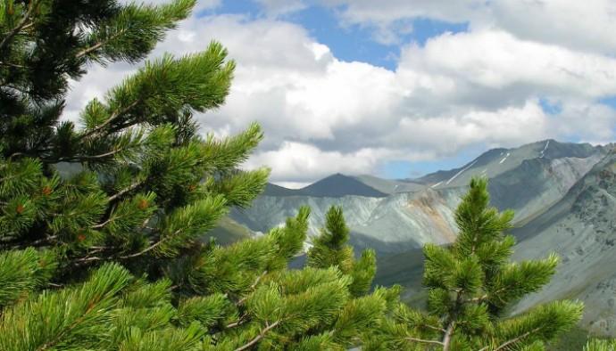 Сибирское чудо-дерево
